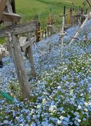 THE HILL OF CROSSES SHOUTS FOR REMEMBERING WITH FORGET-ME NOTS